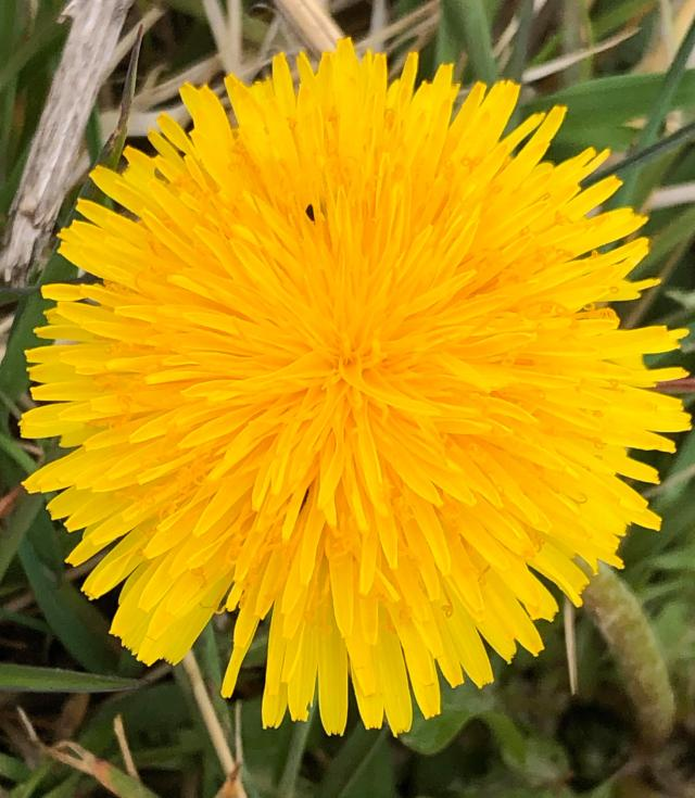 Dandelion blog - Therese