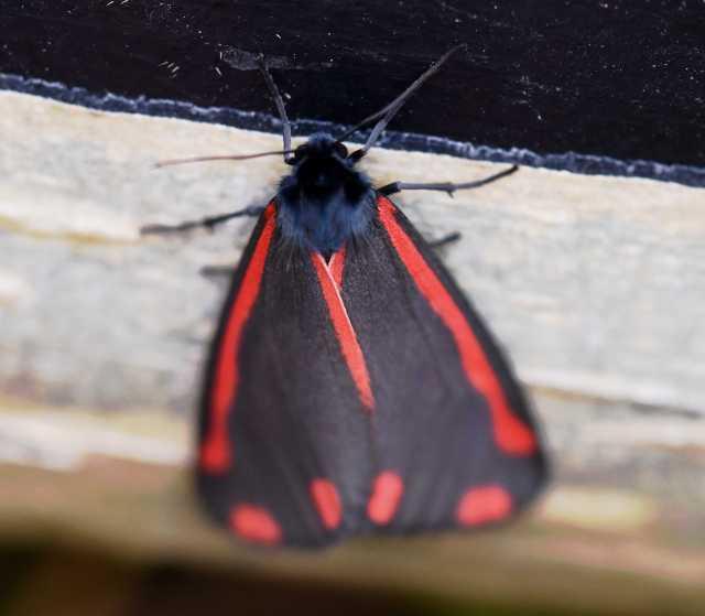 Taynish NNR_ Moth Trapping 2019_m180102 - cinnabar moth