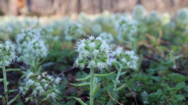 White butterbur flower 2