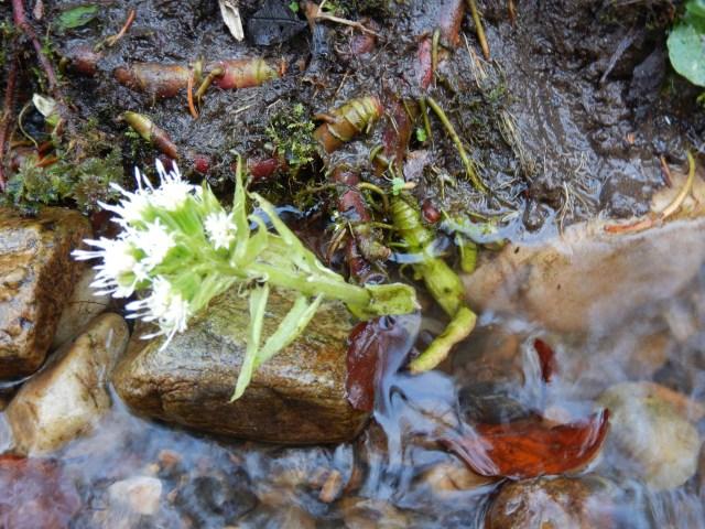 White butterbur flower 3