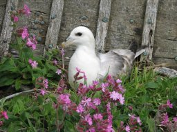 Fulmar and red campions