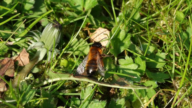 Buffish bee