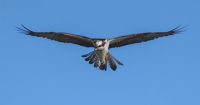 ospreyblog
