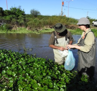 Floating pennywort in its native habitat in Argentina (C)CABI