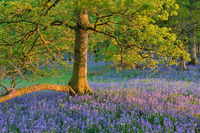 bluebell_woods