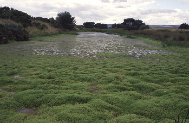 Crassula helmsii smothering pond - taken by Stewart Angus_m195124