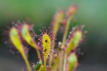 Oblong-leaved sundew ©Lorne Gill/SNH/2020VISION