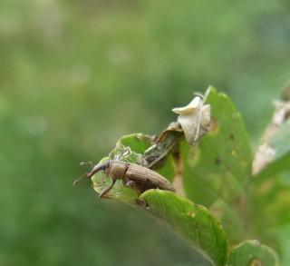 Weevil, Listronotus elongatus (C)CABI