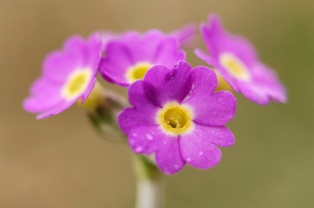 Scottish Primrose (Primula scotica) Yesnaby, Orkney, May 2007.©Lorne Gill/SNH