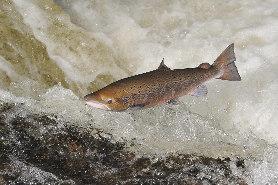 salmon-d7985.jpg_edit_m33969