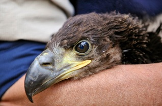 A re-introduced young white-tailed eagle. ©Lorne Gill/SNH