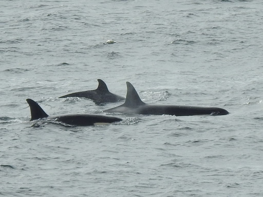 This group of 4 orca are known as the #169s